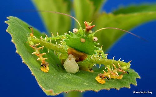 Spiny Devil Katydid from Ecuador wearing a Crown of red Thorns