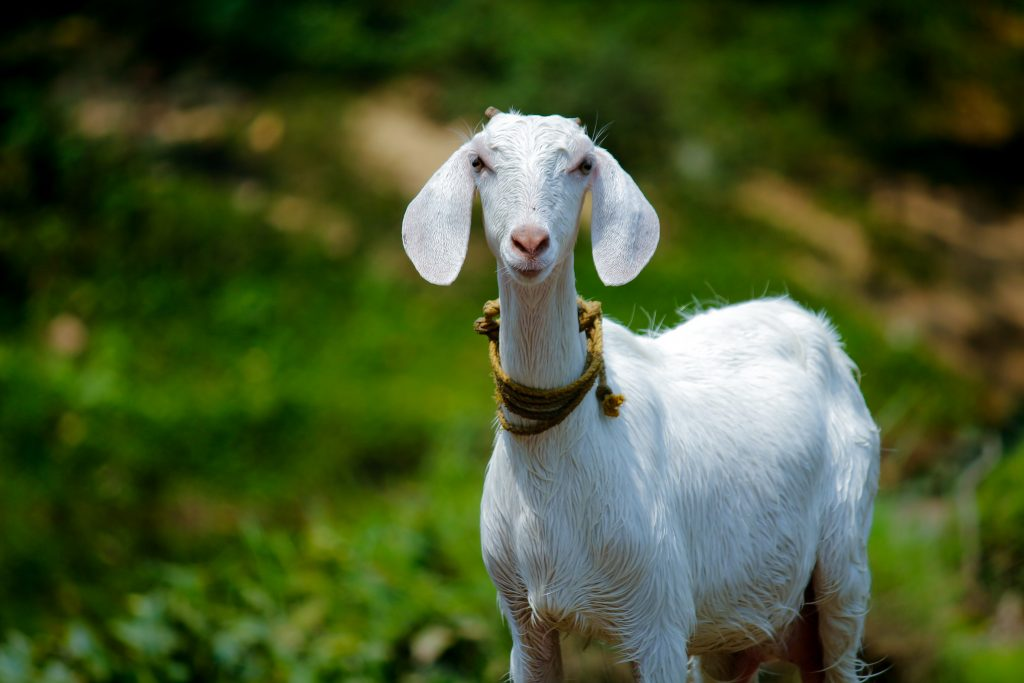 selective focus photography of goat 1011630